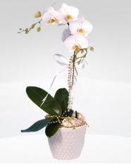 1 dallı orkide saksı çiçeği  Erzurum internetten çiçek satışı