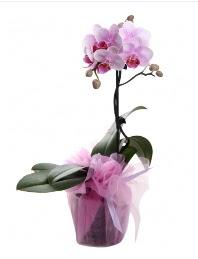 1 dal pembe orkide saksı çiçeği  Erzurum hediye çiçek yolla