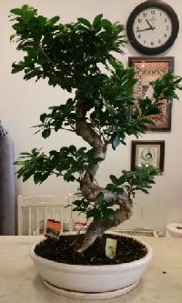 100 cm yüksekliğinde dev bonsai japon ağacı  Erzurum internetten çiçek siparişi