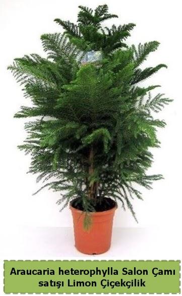 Salon Çamı Satışı Araucaria heterophylla  Erzurum uluslararası çiçek gönderme