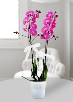 Çift dallı mor orkide  Erzurum kaliteli taze ve ucuz çiçekler