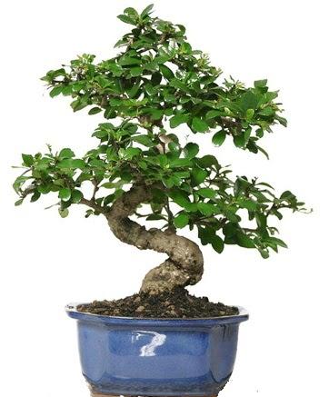 21 ile 25 cm arası özel S bonsai japon ağacı  Erzurum cicekciler , cicek siparisi