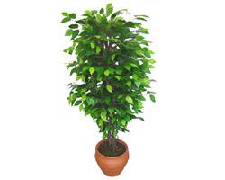 Ficus Benjamin 1,50 cm   Erzurum çiçek gönderme