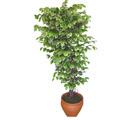 Ficus özel Starlight 1,75 cm   Erzurum çiçek yolla , çiçek gönder , çiçekçi