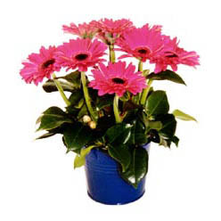 vazo içerisinde gerbera çiçekleri   Erzurum online çiçekçi , çiçek siparişi