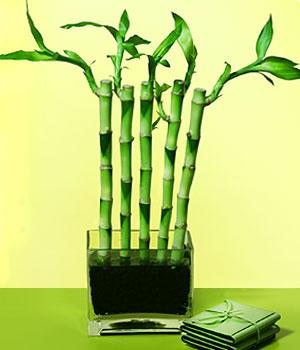 Erzurum çiçek gönderme  Good Harmony Lucky Bamboo camda