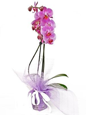 Erzurum çiçek gönderme  Kaliteli ithal saksida orkide