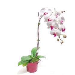 Erzurum cicek , cicekci  Saksida orkide