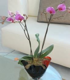 Erzurum çiçek online çiçek siparişi  tek dal ikili orkide saksi çiçegi