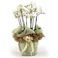 Erzurum çiçek servisi , çiçekçi adresleri  3 dal orkide , saksi çiçegi , 3 kök orkide