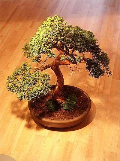 ithal bonsai saksi çiçegi  Erzurum ucuz çiçek gönder