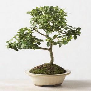 ithal bonsai saksi çiçegi  Erzurum çiçek satışı