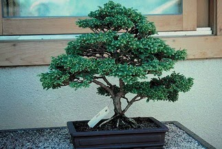 ithal bonsai saksi çiçegi  Erzurum çiçek yolla