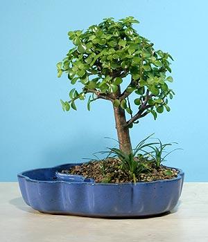 ithal bonsai saksi çiçegi  Erzurum kaliteli taze ve ucuz çiçekler