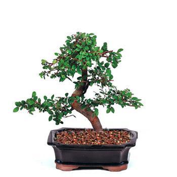 ithal bonsai saksi çiçegi  Erzurum yurtiçi ve yurtdışı çiçek siparişi