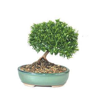 ithal bonsai saksi çiçegi  Erzurum İnternetten çiçek siparişi