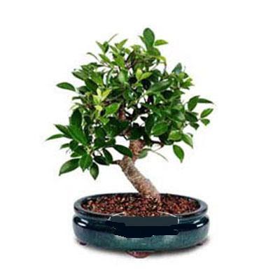 ithal bonsai saksi çiçegi  Erzurum çiçek servisi , çiçekçi adresleri