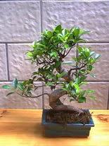 ithal bonsai saksi çiçegi  Erzurum çiçekçi telefonları