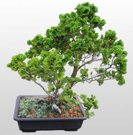 ithal bonsai saksi çiçegi  Erzurum internetten çiçek siparişi