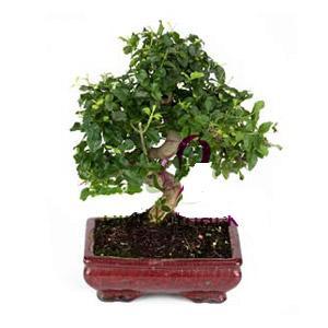 ithal bonsai saksi çiçegi  Erzurum çiçek gönderme