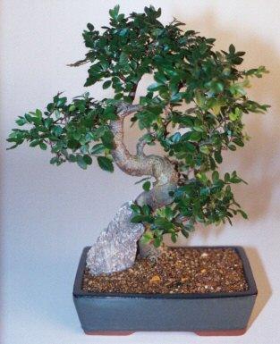 Erzurum çiçek siparişi vermek  ithal bonsai saksi çiçegi  Erzurum çiçek servisi , çiçekçi adresleri