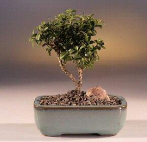 Erzurum online çiçek gönderme sipariş  ithal bonsai saksi çiçegi  Erzurum çiçek mağazası , çiçekçi adresleri