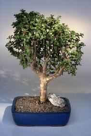 Erzurum cicek , cicekci  ithal bonsai saksi çiçegi  Erzurum kaliteli taze ve ucuz çiçekler