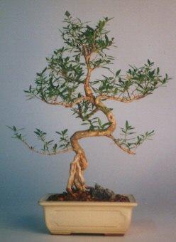 Erzurum uluslararası çiçek gönderme  ithal bonsai saksi çiçegi  Erzurum yurtiçi ve yurtdışı çiçek siparişi