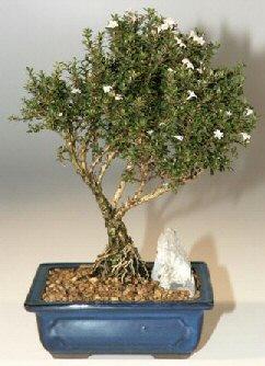Erzurum 14 şubat sevgililer günü çiçek  ithal bonsai saksi çiçegi  Erzurum online çiçekçi , çiçek siparişi