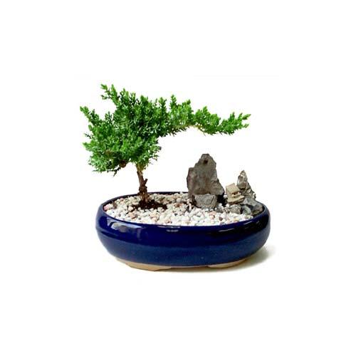 ithal bonsai saksi çiçegi  Erzurum cicek , cicekci