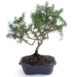 ithal bonsai saksi çiçegi  Erzurum cicekciler , cicek siparisi