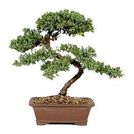ithal bonsai saksi çiçegi  Erzurum çiçek siparişi vermek