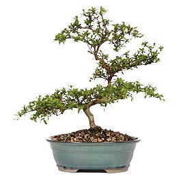 Erzurum internetten çiçek siparişi  ithal bonsai saksi çiçegi  Erzurum çiçek siparişi vermek