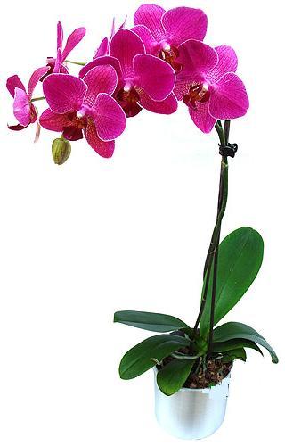 Erzurum çiçek online çiçek siparişi  saksi orkide çiçegi