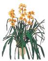 Erzurum kaliteli taze ve ucuz çiçekler  Orchiede ithal büyük boy saksi