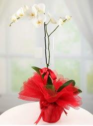 1 dal beyaz orkide saksı çiçeği  Erzurum çiçek siparişi sitesi