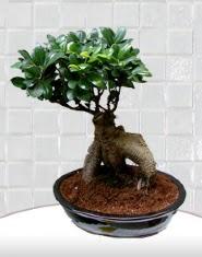 saksı çiçeği japon ağacı bonsai  Erzurum hediye çiçek yolla