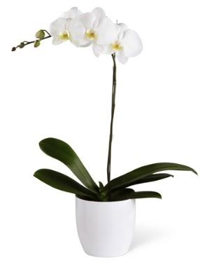 1 dallı beyaz orkide  Erzurum çiçek yolla