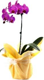 Erzurum çiçek servisi , çiçekçi adresleri  Tek dal mor orkide saksı çiçeği