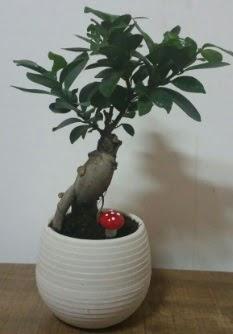 Bonsai japon ağacı saksı çiçeği  Erzurum çiçek siparişi vermek