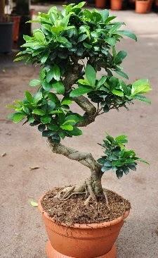Orta boy bonsai saksı bitkisi  Erzurum güvenli kaliteli hızlı çiçek