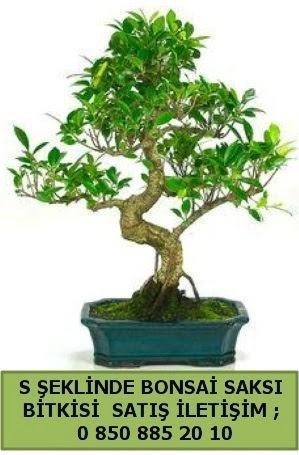 İthal S şeklinde dal eğriliği bonsai satışı  Erzurum cicek , cicekci