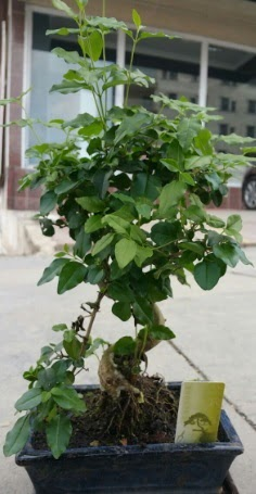 Bonsai japon ağacı saksı bitkisi  Erzurum yurtiçi ve yurtdışı çiçek siparişi