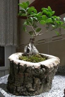 Ahşap kütük içerisinde ginseng bonsai  Erzurum güvenli kaliteli hızlı çiçek