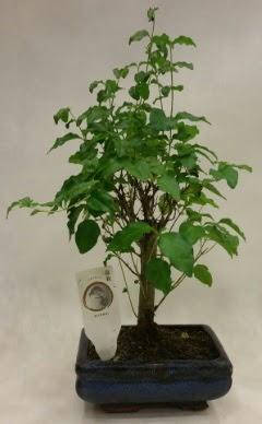 Minyatür bonsai japon ağacı satışı  Erzurum cicekciler , cicek siparisi