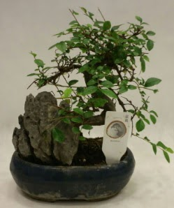 İthal 1.ci kalite bonsai japon ağacı  Erzurum uluslararası çiçek gönderme