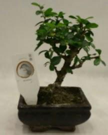 Küçük minyatür bonsai japon ağacı  Erzurum cicek , cicekci