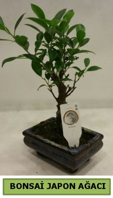 Bonsai japon ağacı saksı bitkisi  Erzurum çiçek , çiçekçi , çiçekçilik