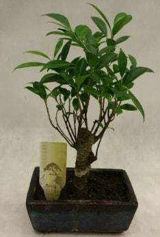 Japon ağacı bonsai bitkisi satışı  Erzurum cicekciler , cicek siparisi