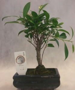 Bonsai japon ağacı bitkisi satışı  Erzurum çiçek siparişi vermek